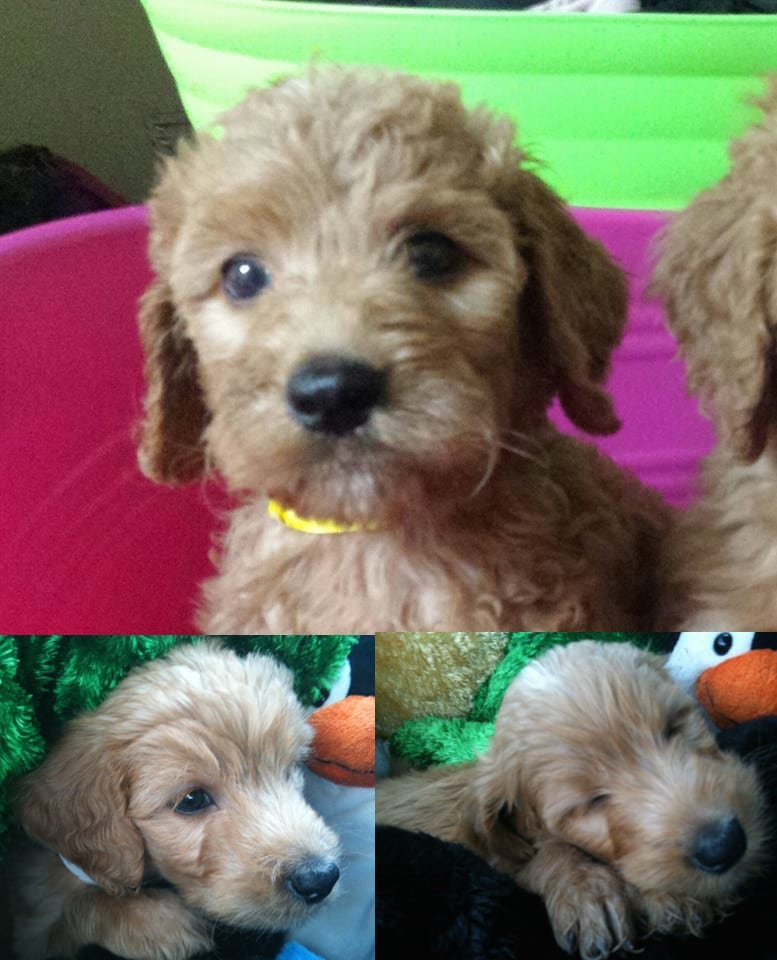 picture of apple the golden doodle as a puppy