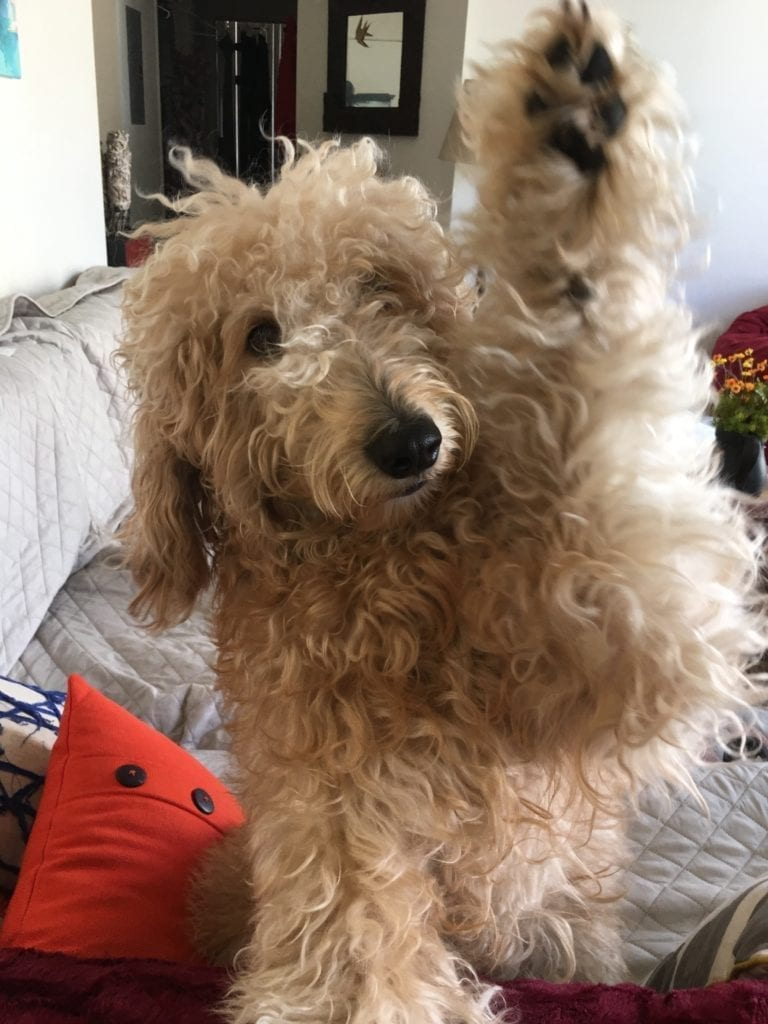 picture of apple the golden doodle giving a high five