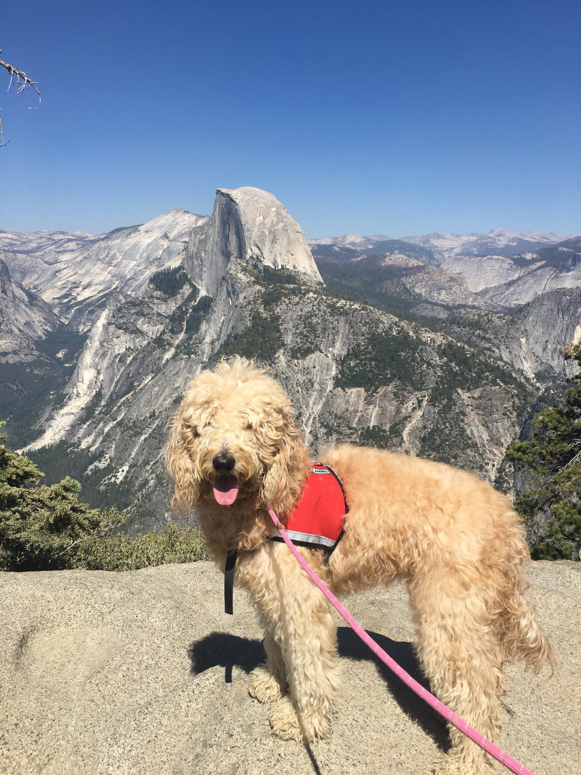 picture of a goldendoodle posing at the grand canyon
