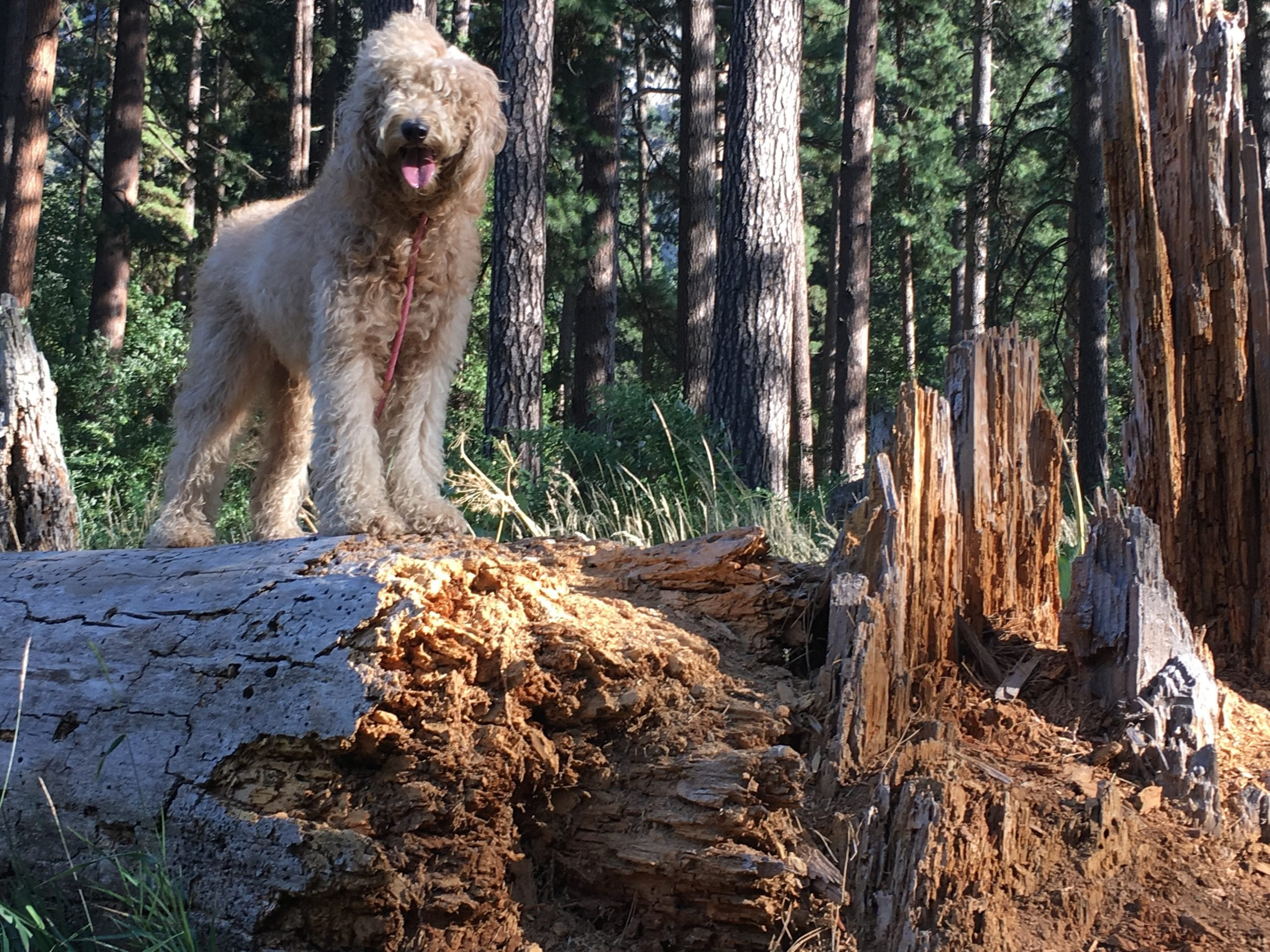 picture of a goldendoodle in the forest