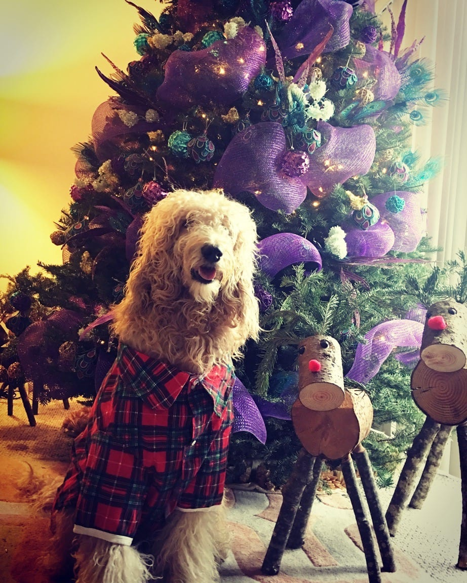 picture of apple the golden doodle at christmas time