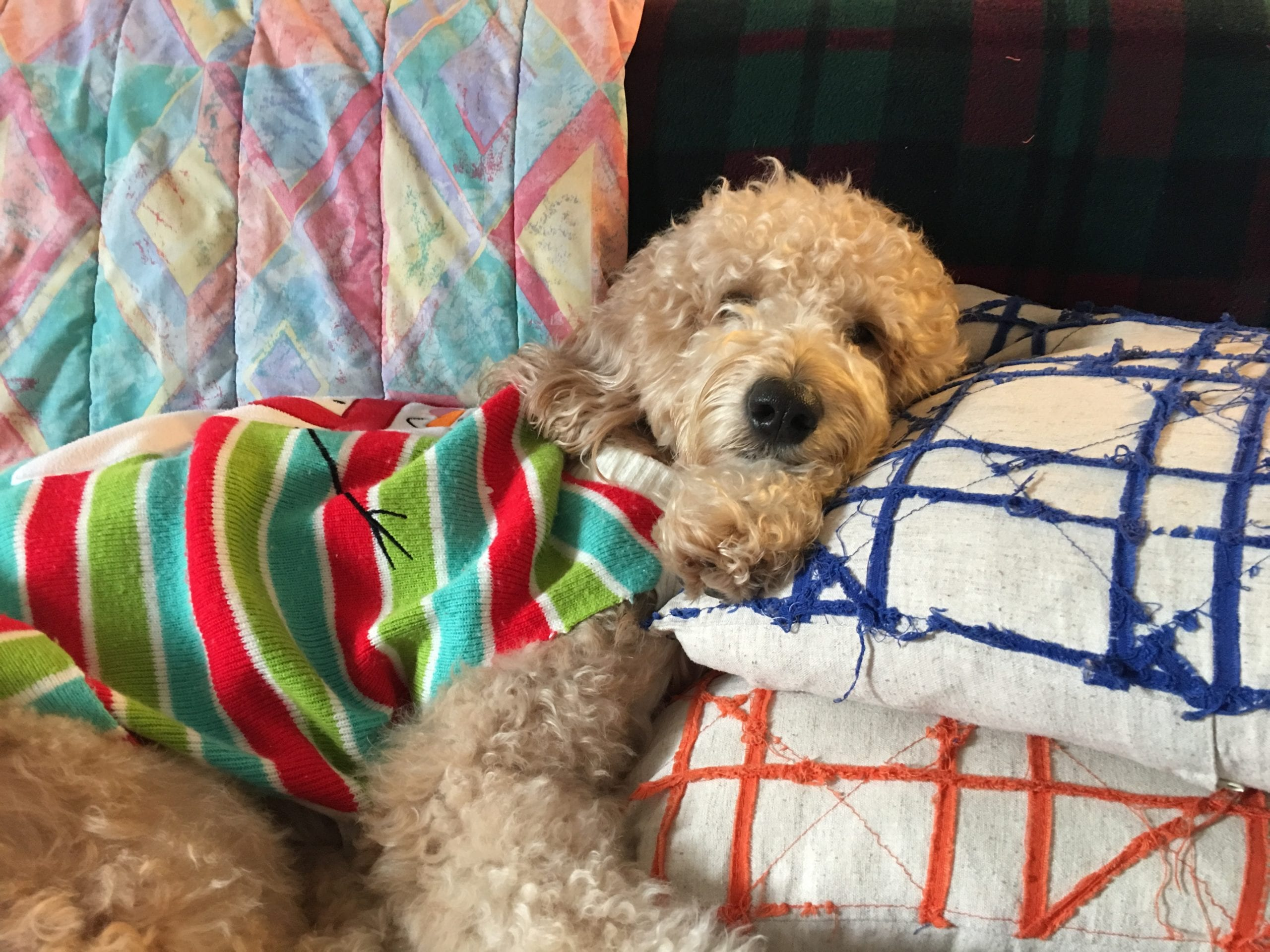 picture of apple the golden doodle laying on pillows with a shirt on
