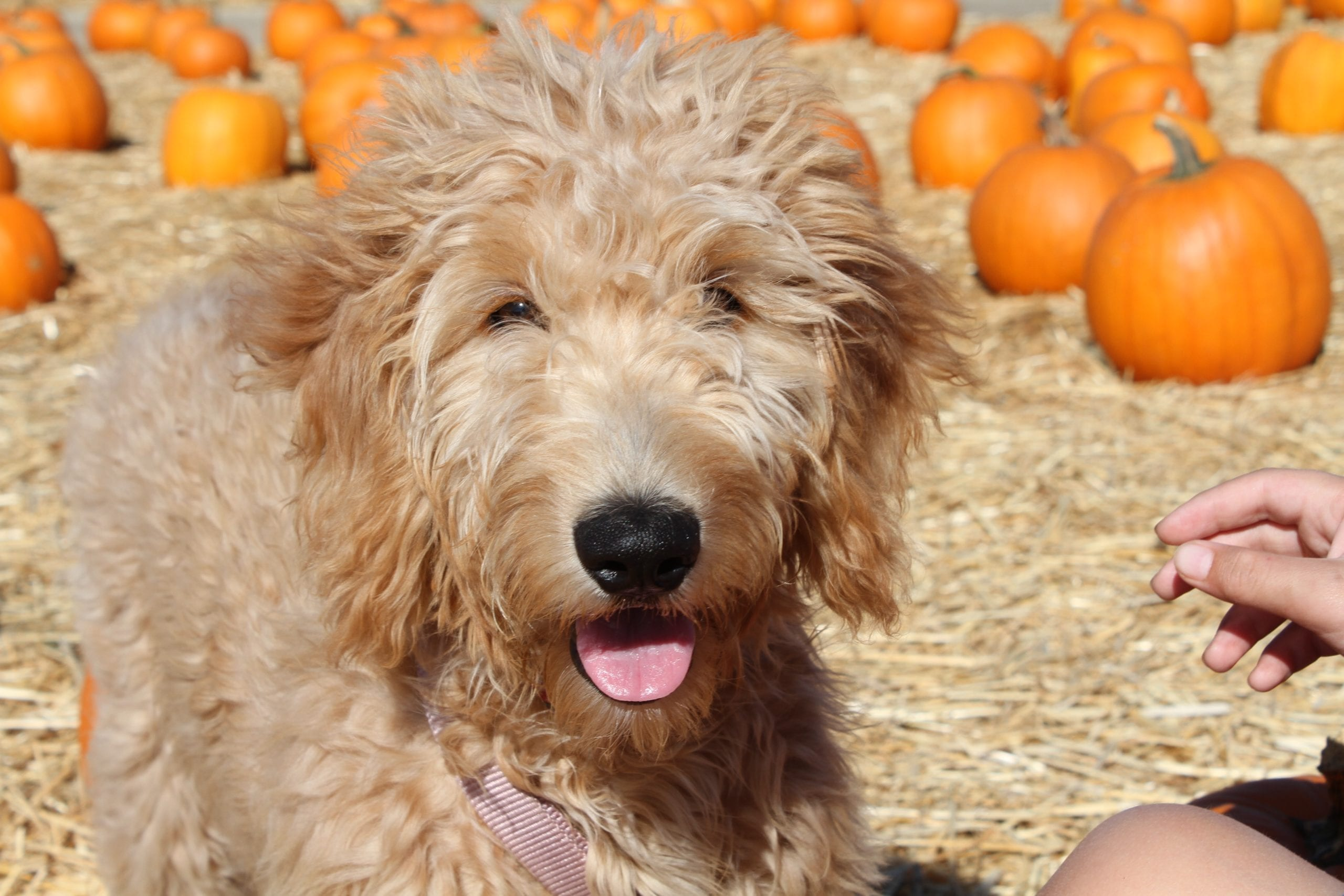 picture of apple the golden doodle at a pumpkin patch